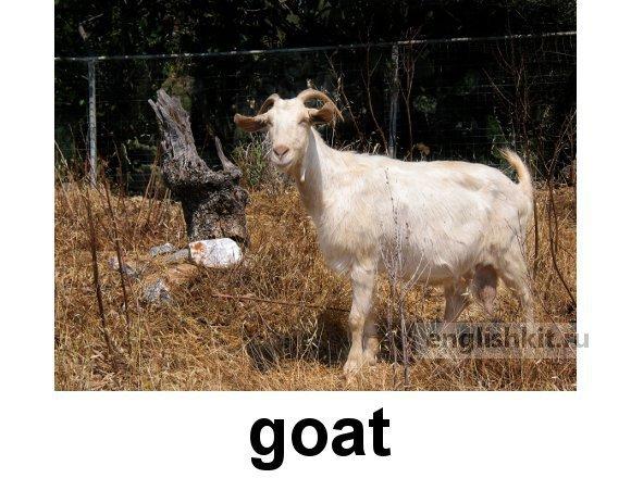 Domestic Animals vocabulary list bull goat lam chicken