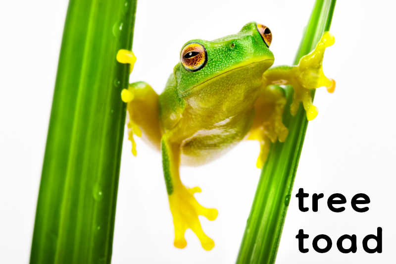 A tree toad loved a she-toad